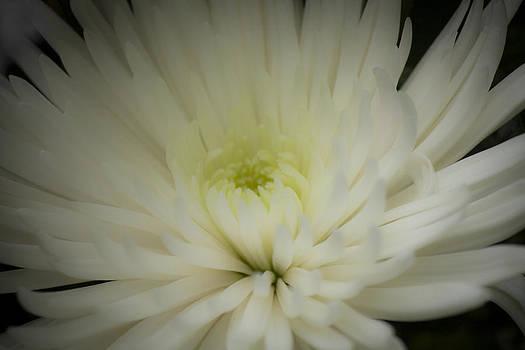Teresa Mucha - Chrysanthemum