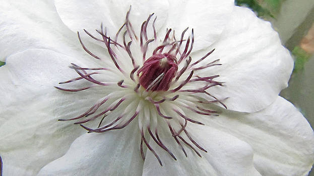 Clematis by Elisia Cosentino