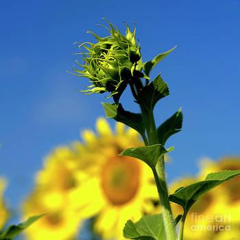 BERNARD JAUBERT - Close uo of sunflower