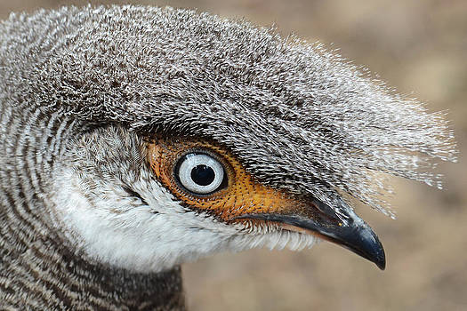 Close-up Pheasant by Sasse Photo
