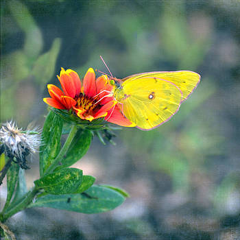 Clouded Sulphur Butterfly Square by Sandi OReilly