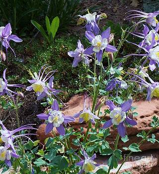 Colorado Columbine by Donna Parlow