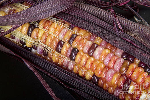 James BO  Insogna - Colorful Indian Corn