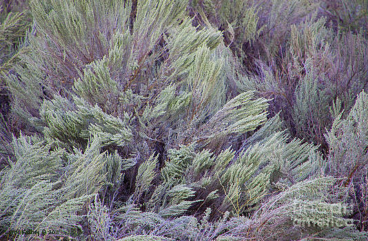 Colorful Sagebrush by Larry Keahey