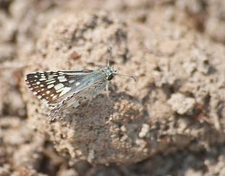 Michael Peychich - Common Checkered Skipper 8793 3421