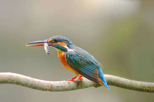 Common Kingfisher by Cheng Jung Kuo