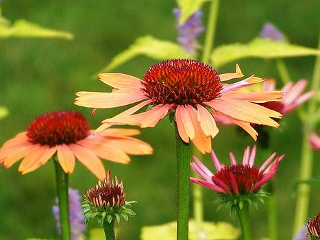 Cone Flowers by Stephen Janko