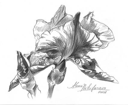 Conte Pencil Sketch Of Iris by Alena Nikifarava