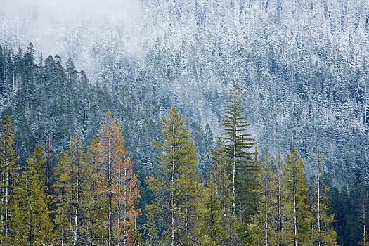 Charmian Vistaunet - Contrasting Pines
