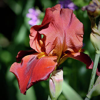 Teresa Mucha - Copper Iris Squared 6