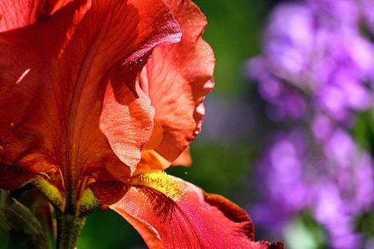 Teresa Mucha - Copper Iris Study 1