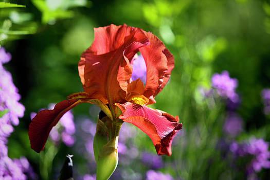Teresa Mucha - Copper Iris Study 4