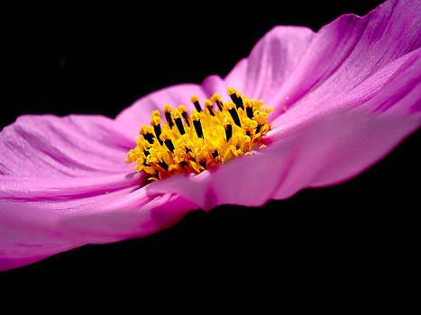 Sumit Mehndiratta - Cosmia Flower