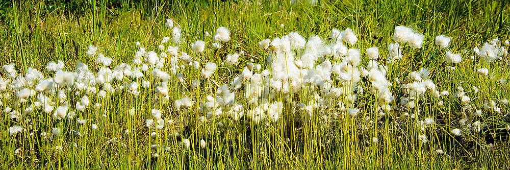 Cotton Grass by Jen Morrison
