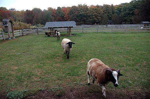 LeeAnn McLaneGoetz McLaneGoetzStudioLLCcom - Counting Sheep