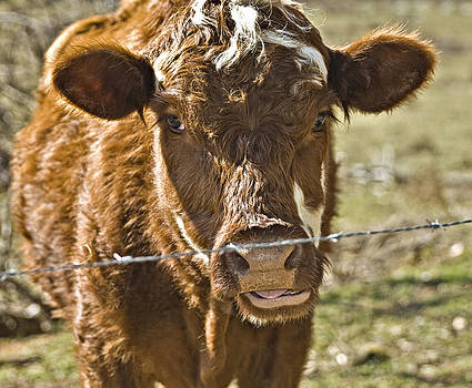 Cow at the Fence by Susan Leggett
