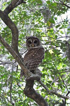 AnnaJo Vahle - Coy Owl