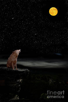 Dan Friend - coyote howling at moon