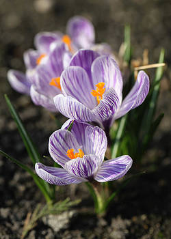 Crocus by Falko Follert
