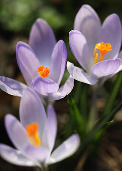 Crocus flowers by Falko Follert