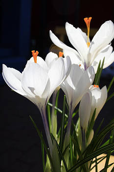 Crocus Two by Alan Rutherford