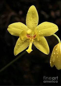 Sabrina L Ryan - Crying Orchid