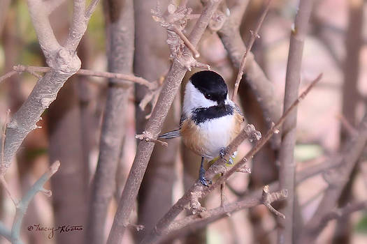 Curious Chickadee by Tracey R Gates