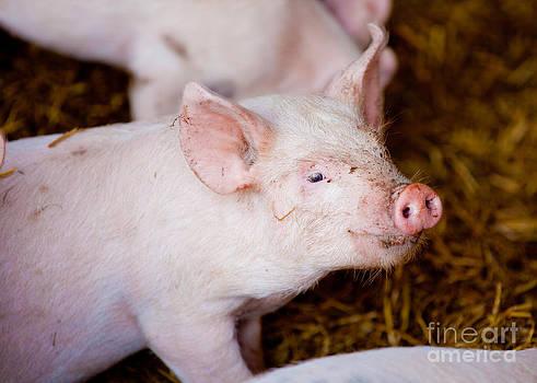 Simon Bratt Photography LRPS - Cute little pink piglet