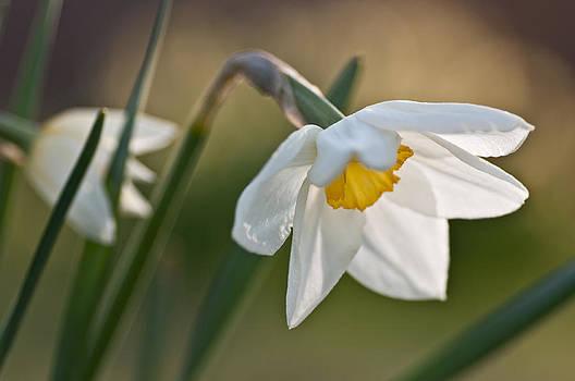 Daffodil by Ron Smith