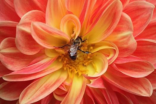 Dahlia Bee by Nolan Taylor