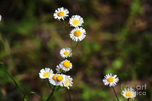 Daisies in the Field by Theresa Willingham