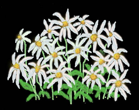 Daisies with Black Background by R  Allen Swezey