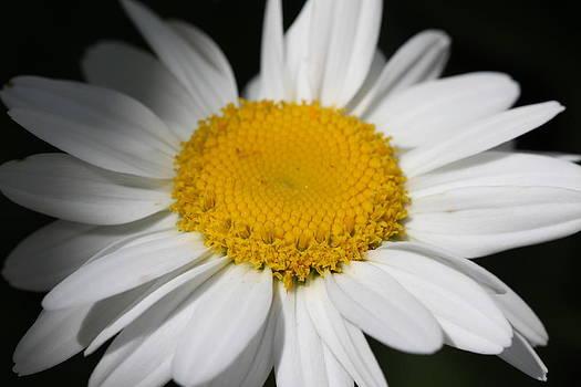 Daisy by Laura Tucker