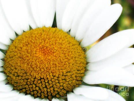 Daisy Smile by Crystal June Norton