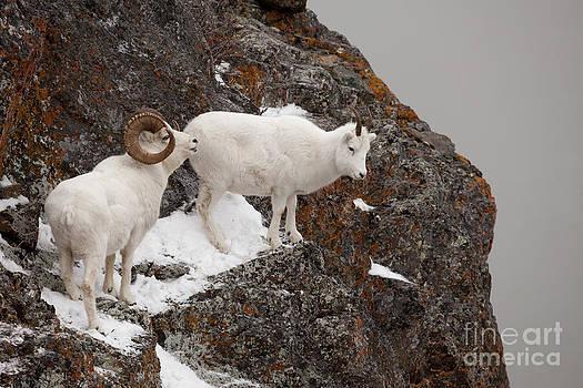 Tim Grams - Dall Sheep on a Ledge