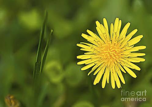 Dandelion by Pat Carosone