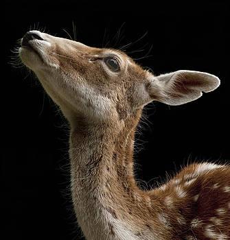 Deer by Ferrara Claude