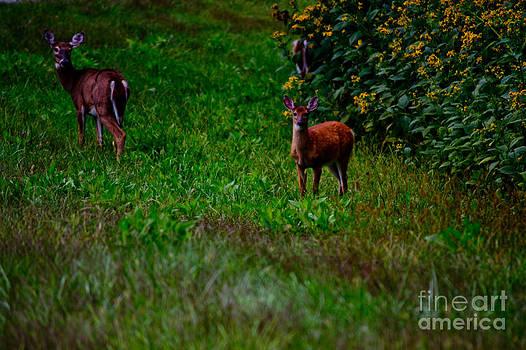 Deer in Meadow by Tom Carriker