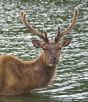 Deer in the water by Yosi Cupano