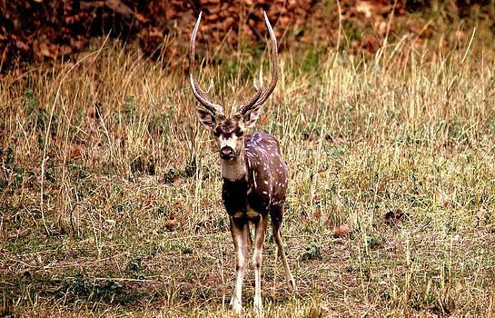 Deer by Manaswinee Mohanty