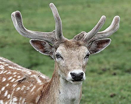 Deer by Yosi Cupano