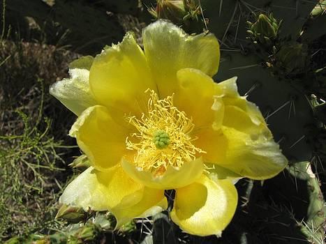 FeVa  Fotos - Delicate Desert Flower
