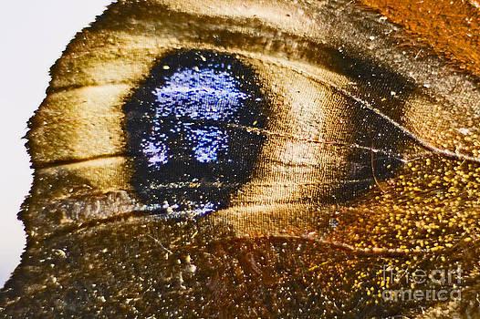 Detail of Peacock Eye Aglais io  by Mary C Legg