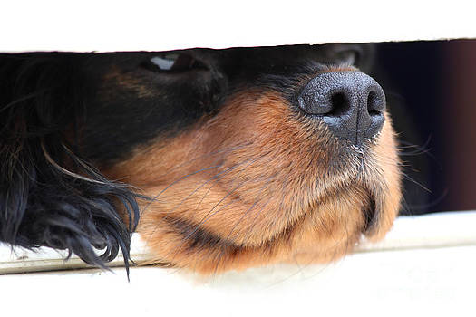 Simon Bratt Photography LRPS - Dog waiting for postman