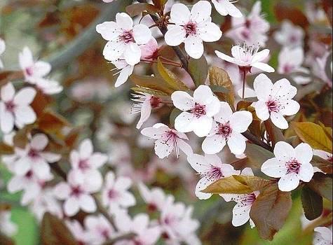 Dogwood Flowers in Bloom by Jennifer Jeffris