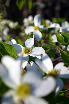 Dogwoods In Bloom by Esther Luna