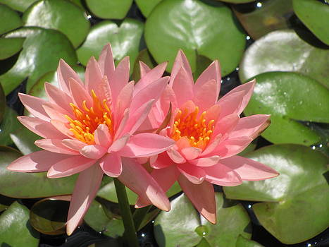 Alfred Ng - double pink waterlilies