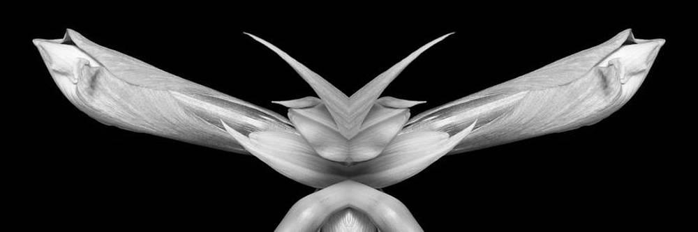 James BO  Insogna - Double Vison Close-up of Amaryllis Bloom BW