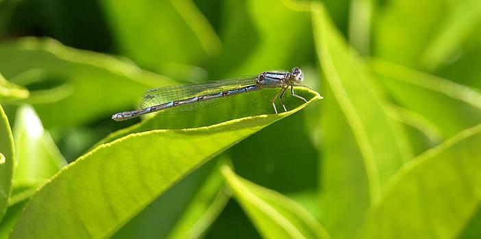 Debi Ling - dragonfly