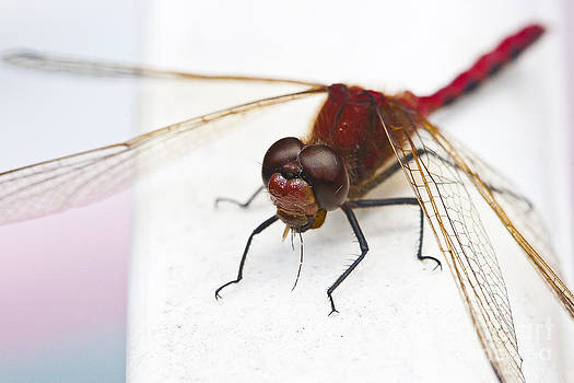 Darcy Michaelchuk - Dragonfly Devours Mosquito